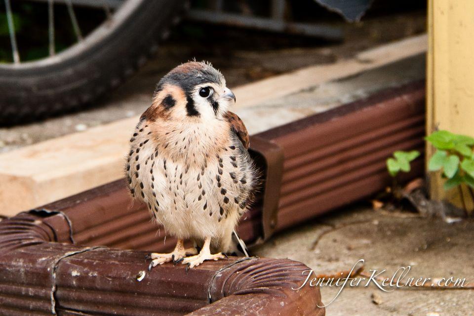 Baby sparrow hawk - photo#12