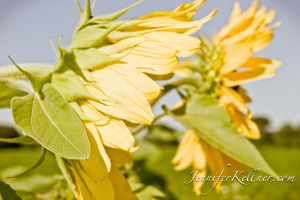 sunflowers (11 of 11).jpg