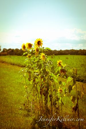 sunflowers (2 of 11).jpg