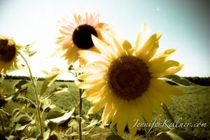 sunflowers (4 of 11).jpg