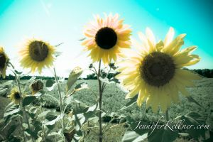 sunflowers (5 of 11).jpg
