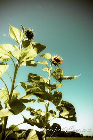sunflowers (6 of 11).jpg