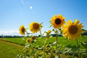 sunflowers (1 of 11).jpg